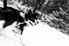 Chilly Dogs Sled Dog Trips